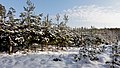 Small pines - Masurian winter - panoramio.jpg