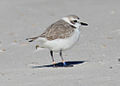 Snowy plover (winter plumage).jpg
