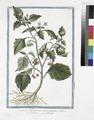 Solanum Officinarum, acinis puniceis - Solatro - Morelle (NYPL b14444147-1125091).tiff