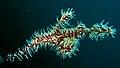 Solenostomus paradoxus, Lembeh.jpg