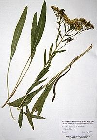 Solidago ohioensis BW-1979-0806-9979.jpg