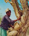 Somali man Myrrh tree.jpg