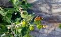 Sonchus oleraceus in Yerevan 04.jpg