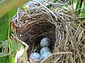 Song Sparrow nest with eggs.jpg
