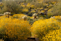 Sonoran Spring Yellow, McDowell Mountains, Arizona (marcegottlieb wikimedia).png