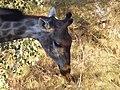 South African Giraffe 18.jpg