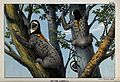 South America; Three yellow throated sloths clambering up a Wellcome V0022847.jpg