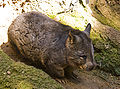 Southern Hairy-nosed Wombat.jpg