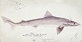 Southern Pacific fishes illustrations by F.E. Clarke 87.jpg
