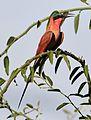 Southern carmine bee-eater, Merops nubicoides, Chobe National Park, Botswana (32461146255).jpg