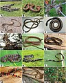 Species from the Atlantic Forest (10.3897-zookeys.787.26946) Figure 4.jpg
