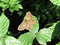 Speckled Wood Butterfly (Pararge aegeria) - geograph.org.uk - 1434856.jpg