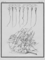 Spermatiques du Lapin et Chien - Sperms from Rabbit and Dog - Gallica - ark 12148-btv1b2300249h-f8.png
