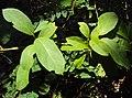 Sphenodesme paniculata 12.JPG
