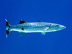 Sphyraenidae - Sphyraena barracuda (Great barracuda).JPG