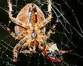 SpiderEpigyne-01.jpg
