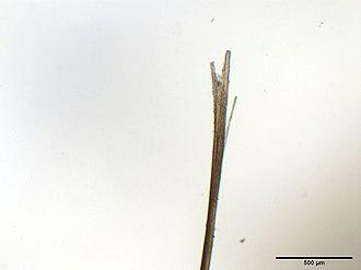 Trichoptilosis - Image: Spliss 2