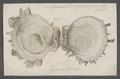 Spondylus gaederopus - - Print - Iconographia Zoologica - Special Collections University of Amsterdam - UBAINV0274 074 10 0005.tif