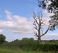 Spooky tree on edge of sports field. - geograph.org.uk - 547062.jpg