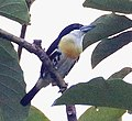 Spot-crowned Barbet, crop.jpg