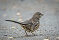 Spotted Towhee (juvenile) (41141437130).jpg