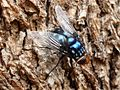Spotted blue arse fly (3358941003).jpg