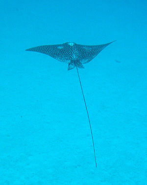 This spotted eagle ray looks like a giant bird gracefully soaring through the ocean.