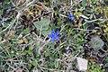 Spring gentian - Gentiana verna - panoramio (1).jpg