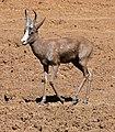 """Springbok (Antidorcas marsupialis) """"black"""" variety ... (32248345134).jpg"""