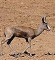 """Springbok (Antidorcas marsupialis) """"black"""" variety ... (32248399474).jpg"""
