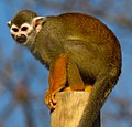 Squirrel Monkey 2 (8488580853).jpg