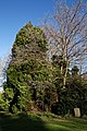 St Mary's Church, Great Canfield, Essex ~ east churchyard yew tree 01.jpg