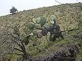 Starr-030628-0067-Opuntia ficus indica-habit-Auwahi-Maui (24268182579).jpg