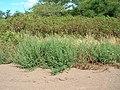 Starr-050517-1445-Bassia hyssopifolia-habit-Kakahaia-Molokai (24395289729).jpg