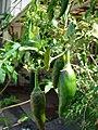Starr-080531-4869-Capsicum annuum-green fruit-Halsey Dr around residences Sand Island-Midway Atoll (24543280159).jpg