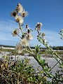 Starr-080604-5938-Conyza bonariensis-fruiting habit-South Beach Sand Island-Midway Atoll (24795074162).jpg