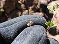 Starr-090504-7162-Medicago lupulina-fruit-Science City-Maui (24927742896).jpg