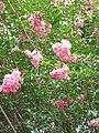 Starr-090623-1424-Lagerstroemia indica-flowers and leaves-Nahiku-Maui (24335893434).jpg