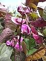 Starr-090803-3633-Lablab purpureus-purple seedpods and flowers-Wailuku-Maui (24603431789).jpg