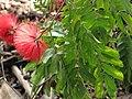 Starr-110307-2295-Calliandra haematocephala-flowering habit-Kula Botanical Garden-Maui (25077952995).jpg