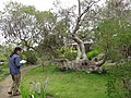 Starr-110307-2777-Banksia ericifolia-habit with Kim-Kula Botanical Garden-Maui (24451913093).jpg
