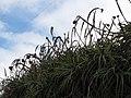 Starr-120403-4164-Aloe arborescens-flowers deformed by mites-Kula-Maui (24511689343).jpg