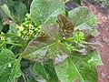 Starr-120620-7521-Jatropha curcas-flowers and leaves-Kula Agriculture Park-Maui (25027571382).jpg