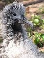 Starr-130320-3334-Ageratum conyzoides-habit with Laysan Albatross chick-Mokolea Pt Kilauea Pt NWR-Kauai (24582224913).jpg