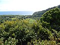 Starr-140909-1627-Hibiscus tiliaceus-habit view makai to ocean-Wailua-Maui (24614953504).jpg