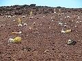 Starr-140916-4974-Argyroxiphium sandwicense subsp macrocephalum-many flowering blown over from hurricane Iselle-Lava Lake HNP-Maui (24877907829).jpg
