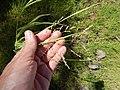 Starr-141025-2431-Panicum antidotale-leaves and seedhead-Kawela Bridge-Molokai (24620904863).jpg