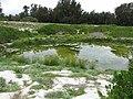 Starr-170629-0083-Cyperus polystachyos-view seep and Laysan Ducks and Albatross-Radar Hill Seep Sand Island-Midway Atoll (36320152341).jpg