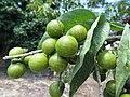 Starr-170913-0142-Sapindus saponaria-immature fruit-CTAHR Urban Garden Center Pearl City-Oahu - Flickr - Starr Environmental.jpg