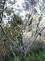 Starr-180927-5564-Vanilla planifolia-flowering habit-Hawea Pl Olinda-Maui (45766583022).jpg